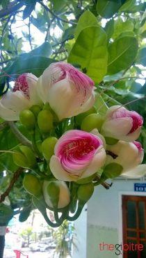 """Đến đảo Lý Sơn chiêm ngưỡng vẻ đẹp """"kiêu hãnh"""" của hoa bàng vuông"""